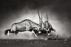 Gemsbok fight 40410948