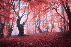 Beautiful magic red forest in fog in autumn. Fairytale landscape 116066378