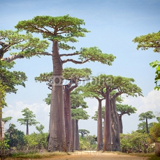Baobabs 71599941