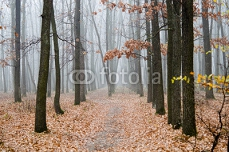 forest in the fog 75596646