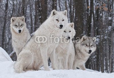 Arctic Wolf Pack 29814772