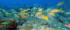 School of five-lined Snappers (Lutjanus quinquelineatus) 79193343