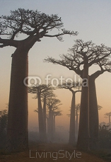 Avenue of baobabs at dawn in the mist. General view. Madagascar. An excellent illustration. 96708995