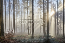 Sun rays through the foggy forrest 98968412