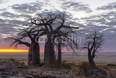 Baobab trees and colours of sunrise 121950898