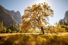 Big Oak Dolina Yosemite 47720860