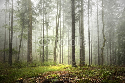 Beautiful foggy forest landscape with rainfall. 120764014
