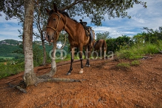 Horses on hill top in Vinales Valley, Cuba 96458372