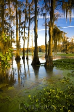 Caddo Lake TX 17442871