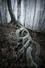 frozen tree with twisted roots in a misty forest 71691531
